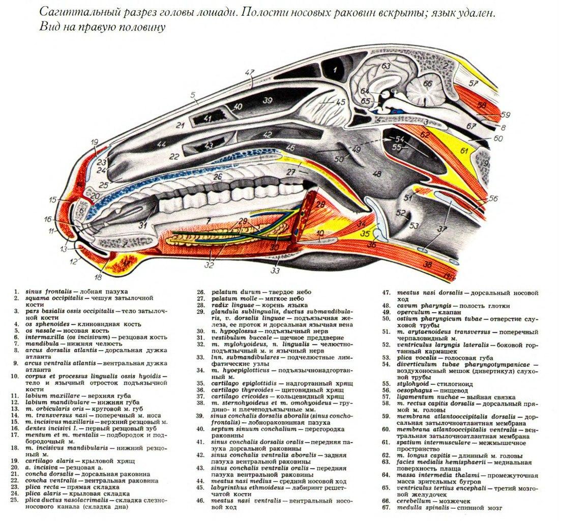 Анатомия лошади (2) подробности