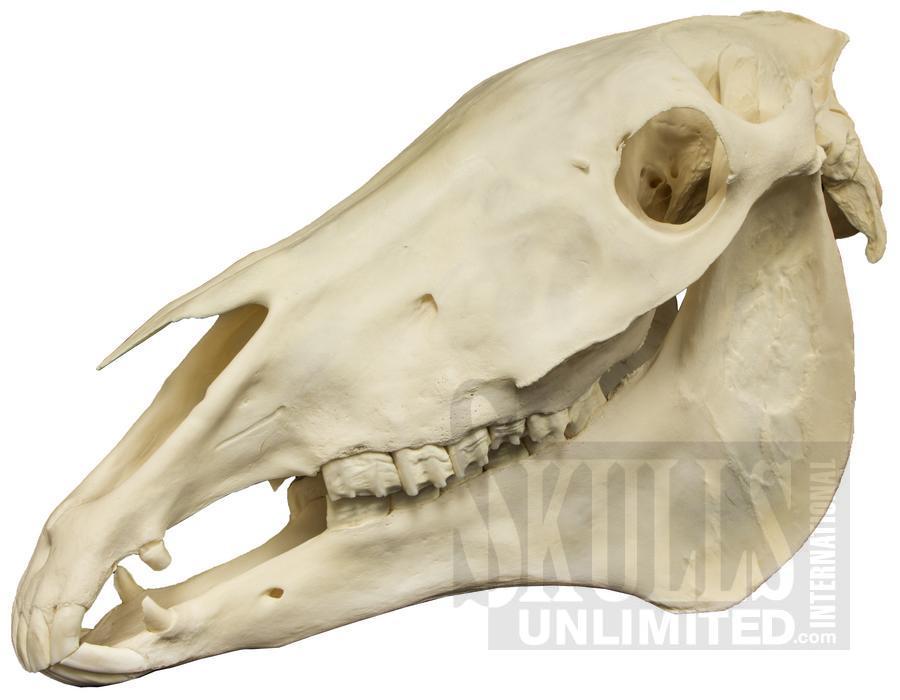 Goat Skull Taxidermy  eBay
